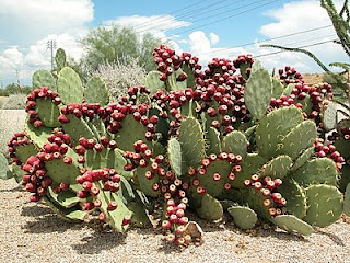 The nopal cactus extract rich in vitamin C that a reducing sugar