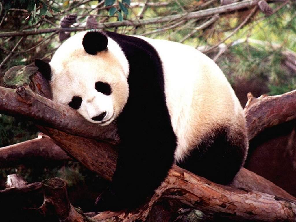 panda bear sleeps on tree