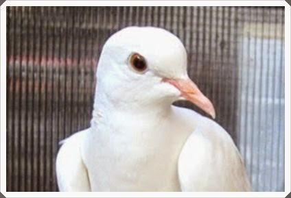 Burung Perkutut Lokal Dipasaran