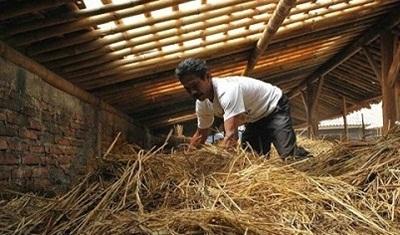Cara Mudah Membuat Pakan Fermentasi Ternak Sapi