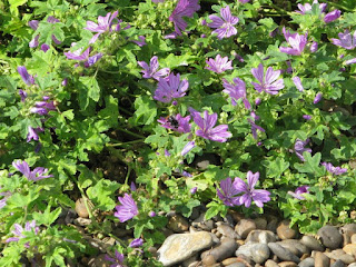 Mallow on the beach, messy but vibrant