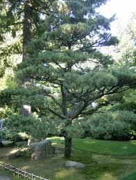 black+pine.png
