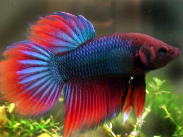 Animales razas de peces parte 1 for Peces para acuarios pequenos