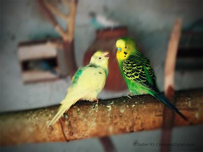 birds, Budgerigar parrots