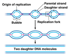 The Steps and Proteins involved in DNA Replication (Prokaryotic ...