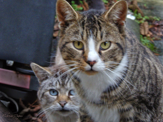 Nosy Tabby and Frankie Siamese