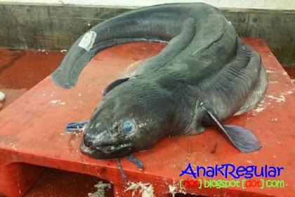 Heboh, Belut Raksasa Bermata Biru Berhasil Ditangkap Nelayan