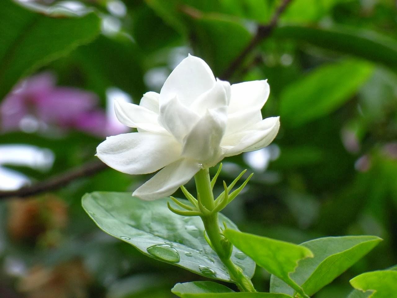 Very nice jasmine flowers wallpapers izmirmasajfo