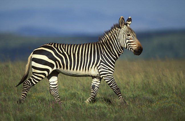 Like all zebras it is boldly striped in black and white and no two