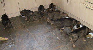 All seven puppies tucking in to their food in the kitchen