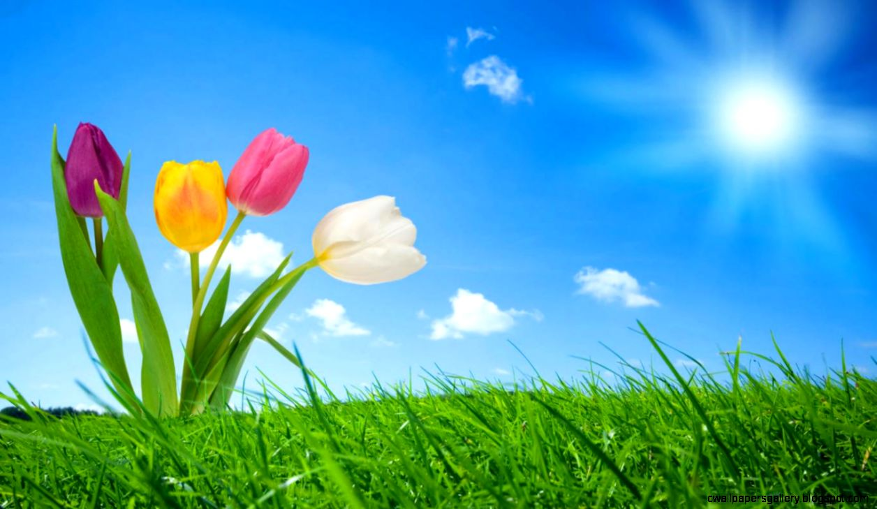 HQ Tulip Wallpaper  Full HD Pictures