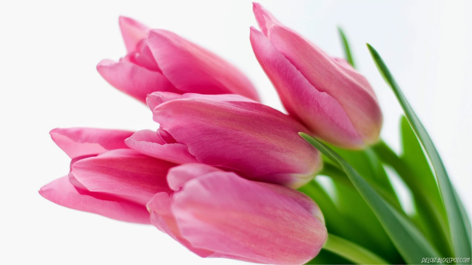 Wallpaper Bunga Tulip Pink