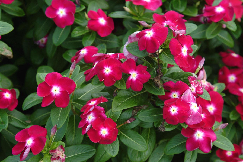 Dr dan 39 s garden tips vivid vincas Vibeline