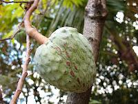 Fruta-do-conde, Annona coriacea
