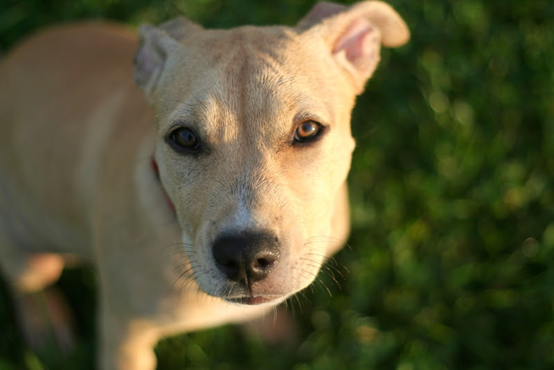 close up of yellowish tan puppy with black nose and dark brown eyes, floppy ears that stand up, looking straight at the camera