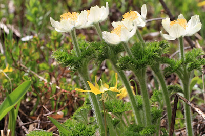 Anemone occidentalis (Western Pasqueflower)
