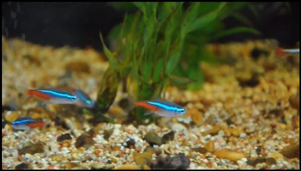 how to breed neon tetras fish