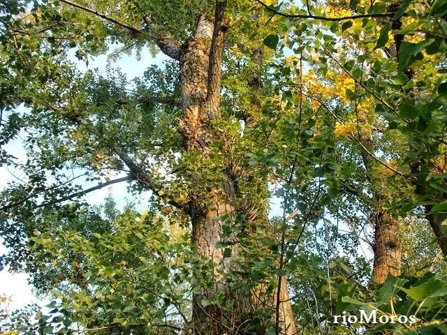 CHOPO: Populus nigra