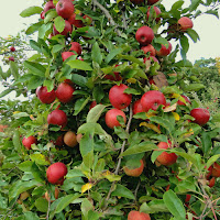 Highland Farm Holliston MA_New England Fall Events_Apple tree
