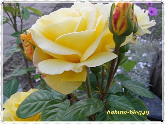 Róże kusicielki