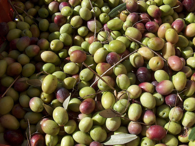 Fresh from the harvest, these olives are destined to become a most savory oil. Photo: Giancarlo Dess, WikiMedia.org.