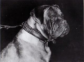 Japanese mastiff dogo