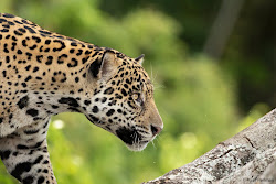 Jaguar, Pantanal, Brazil, November 2018