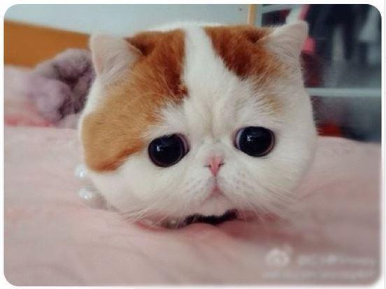Gambar Kucing Lucu pesek