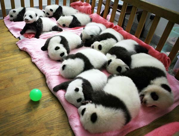 These sleeping panda cubs.