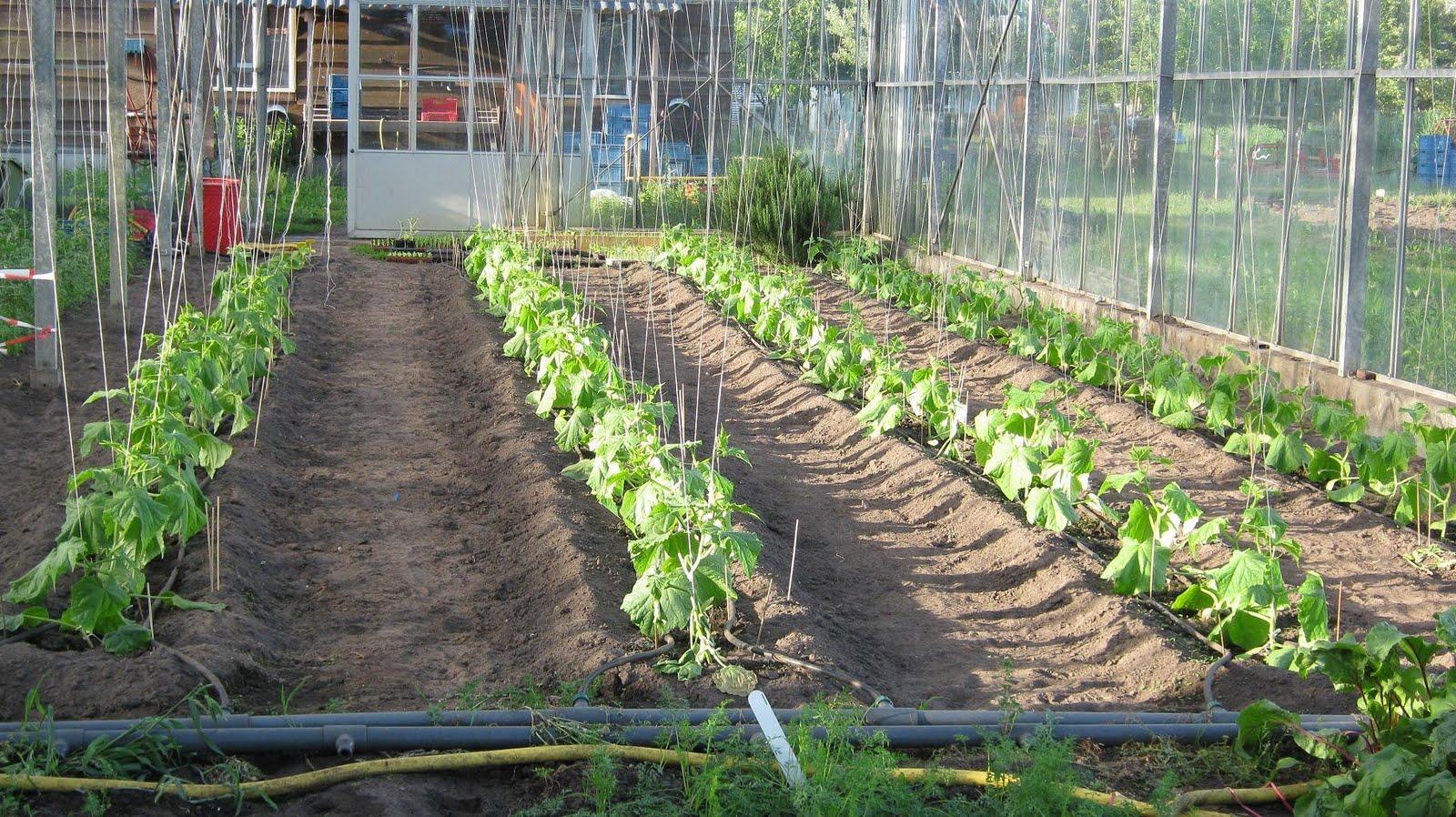 Tuinnieuws van 39 n groene kans midden mei glad geschoren en uitgekookt - De komkommers ...