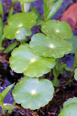 Water Pennywort, Hydrocotyle ranunculoides