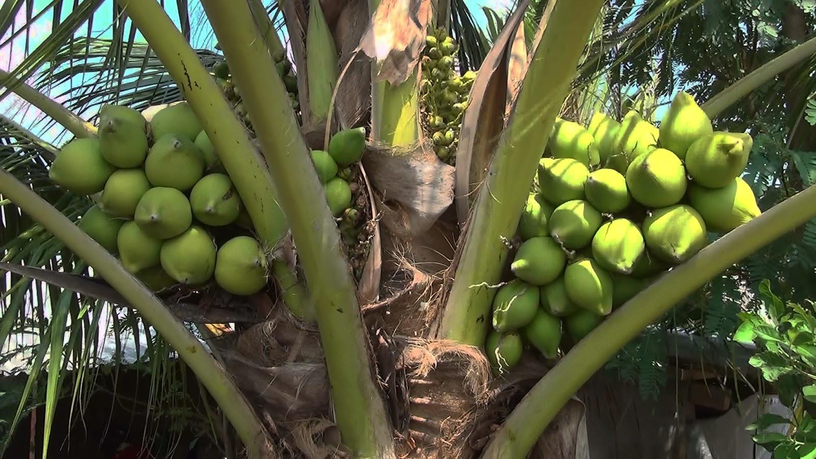 Quán Ăn Dừa Sáp tpHCM