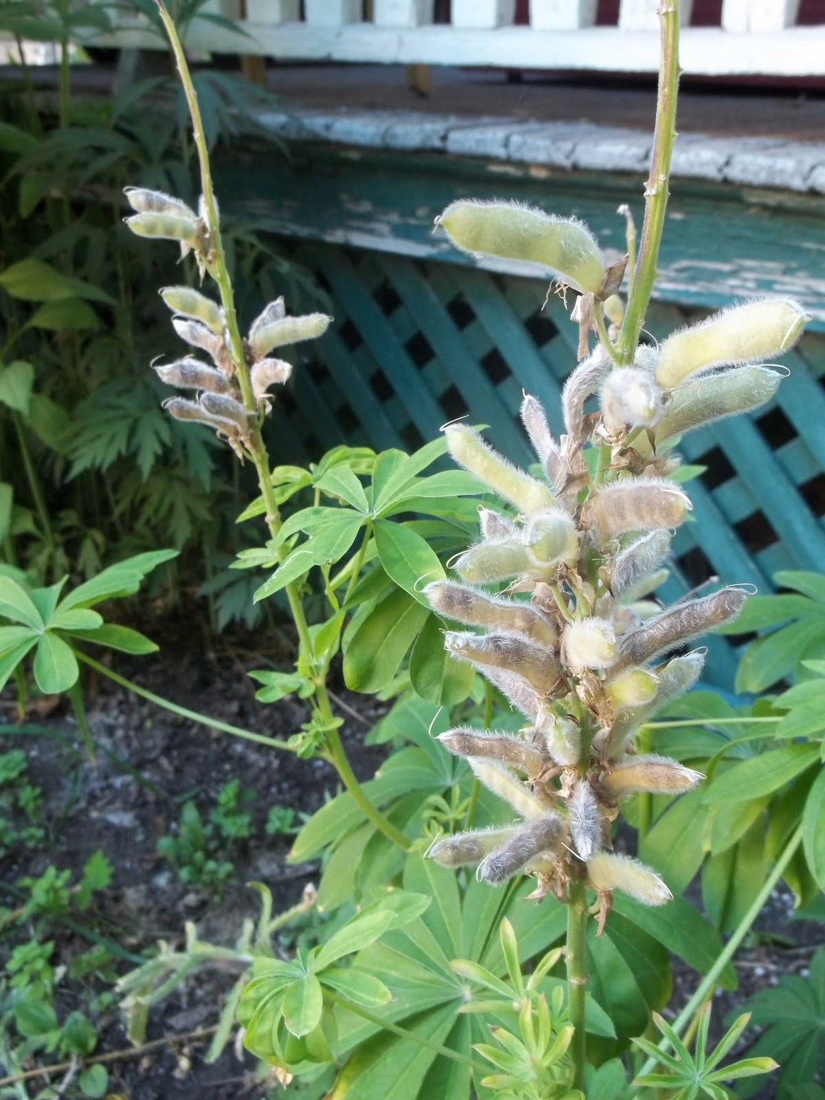 How to plant lupine seeds - If You Look Closely You Can See The Dark Brown Seeds In The Pods