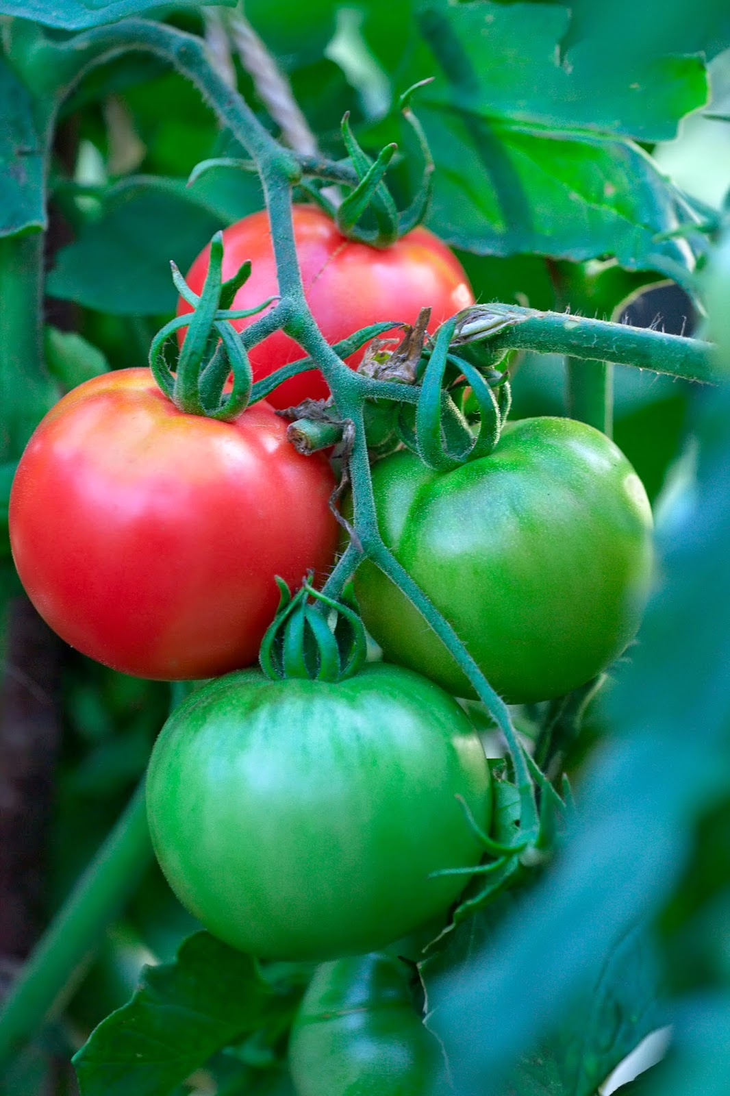 growing tomatoes in your back garden