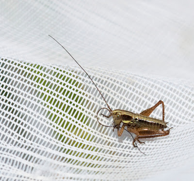 A Roesel's bush-cricket,  Metrioptera roeselii, on the net, cleaning its antenna. Darrick Wood, 22 May 2011.