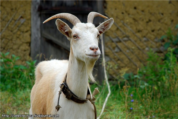 Ка��инки коз�