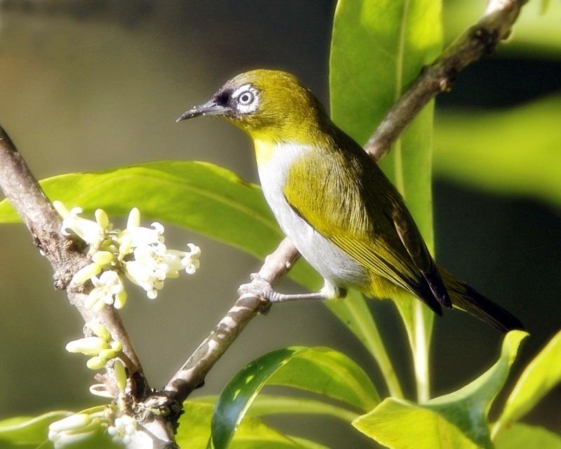 Burung Pleci Dada Kuning