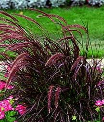 Lucy on gardening what are some new or interesting plants for Perennial grasses red