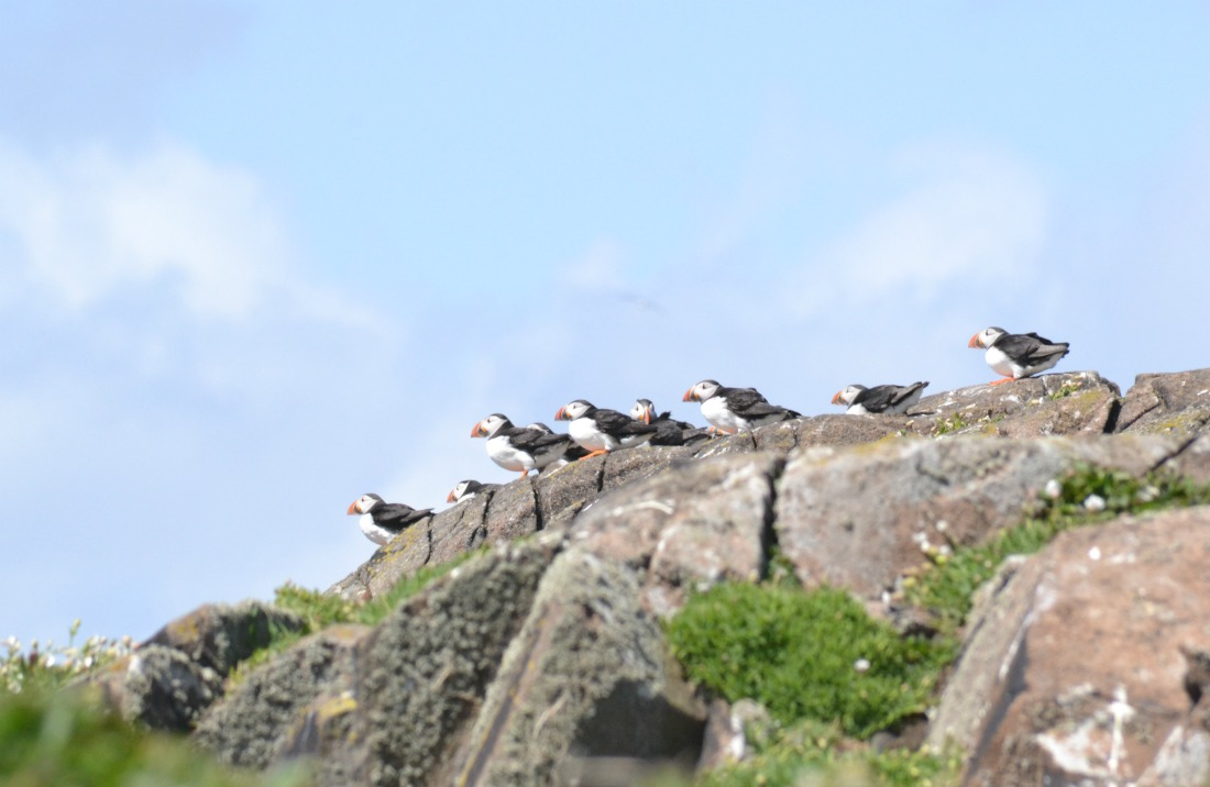 staring puffins hanging out rocks isle of may