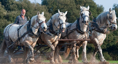 Percheron horses working on farm