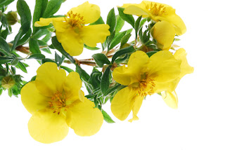 Evening-Primrose-Oil-flowers