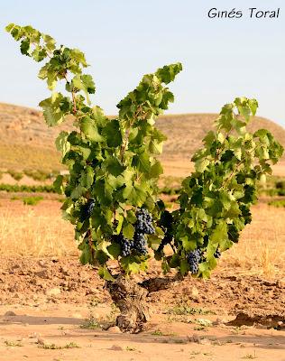viñedos de uva monastrell