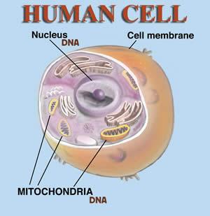 GTF Chromium helps cells.