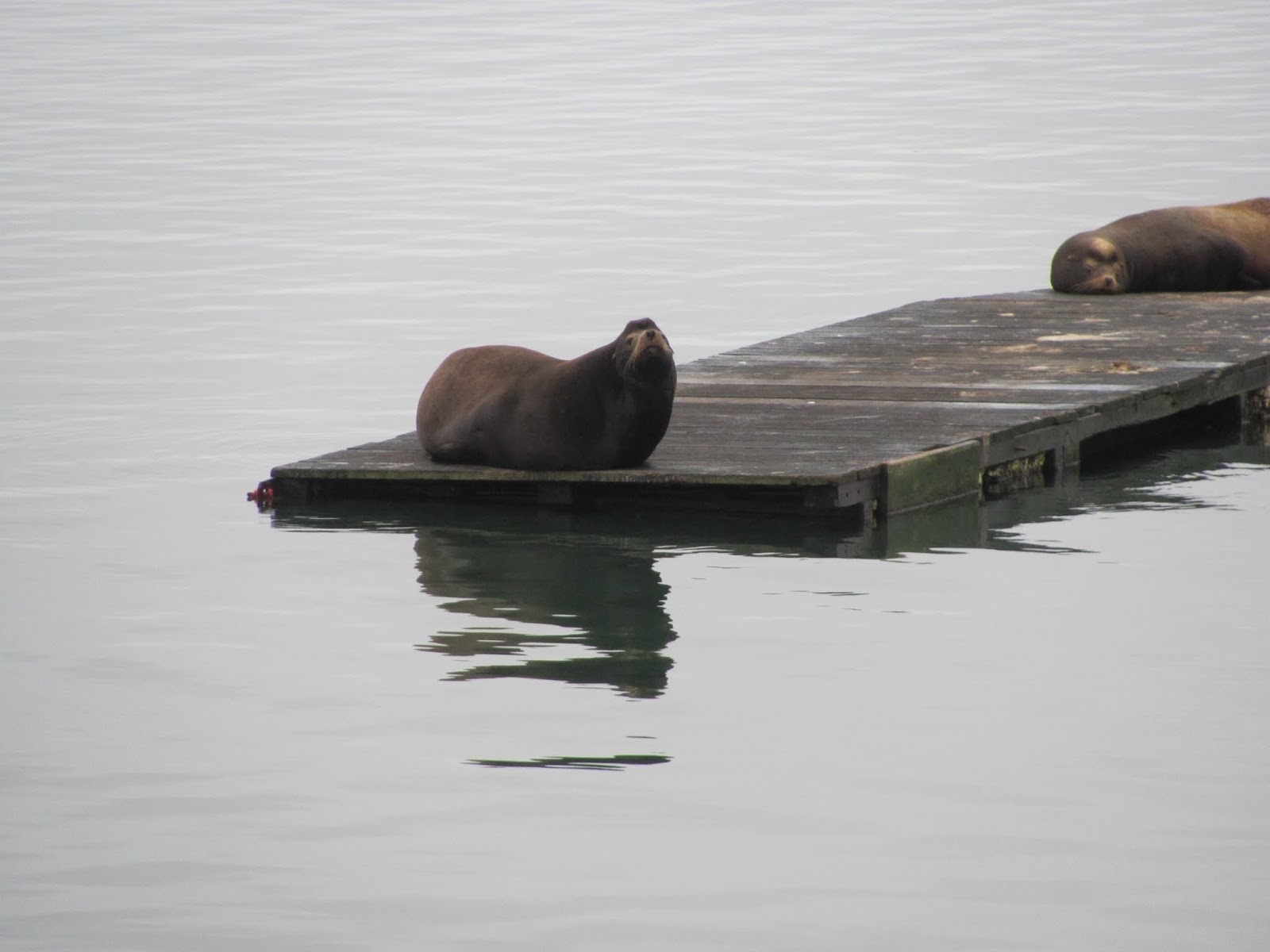 An adult seal rests on a dock at Anchor Bay, California