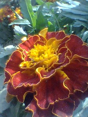 A Marigold flower
