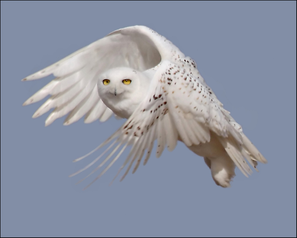 snowy owl Snowy owl: large, white owl with variable black bars and spots the head is round and lacks tufts, eyes are yellow, and the bill is black feathered feet and toes provide protection from the arctic cold.