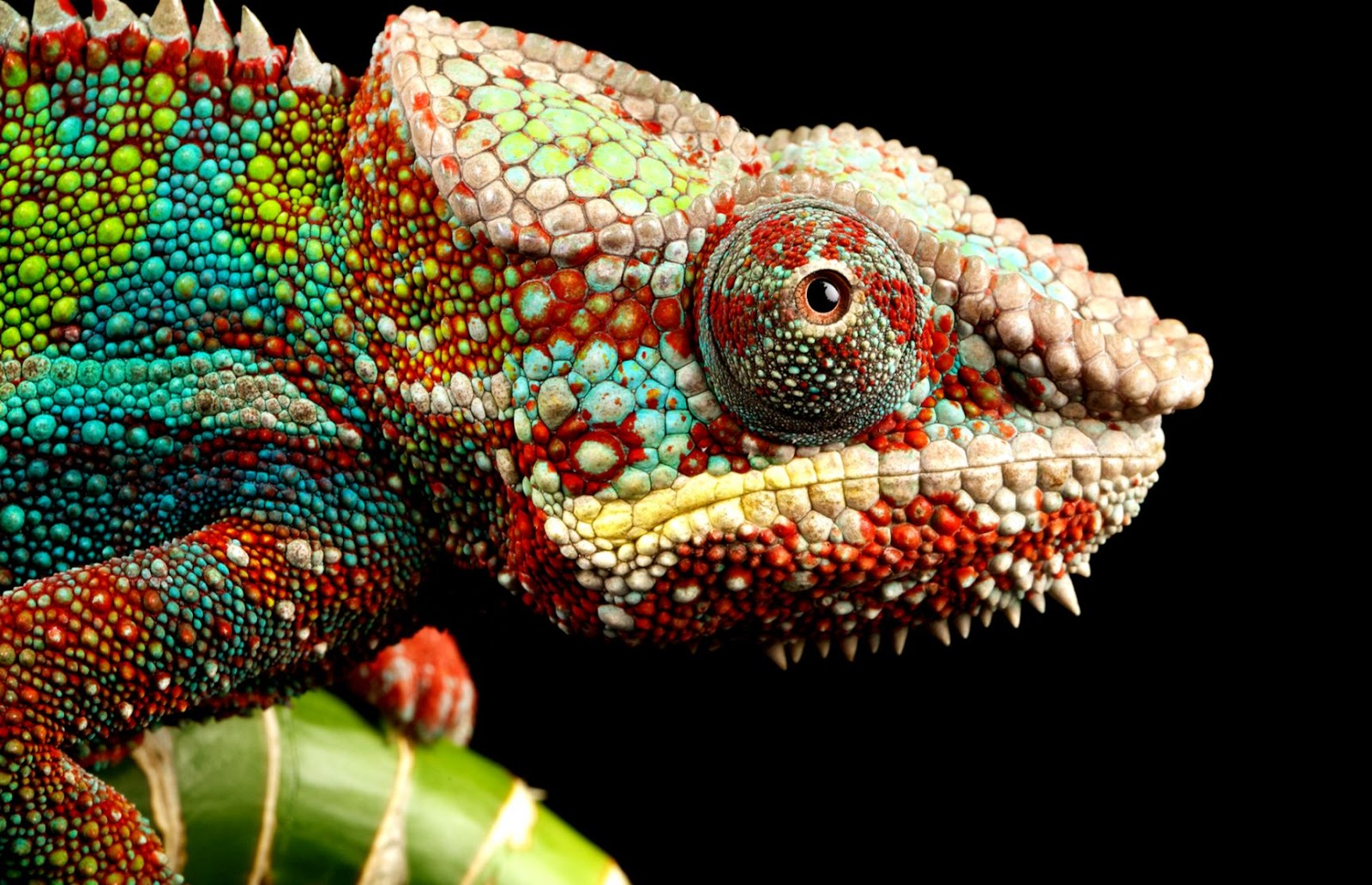 Chameleon Lizard Eyes