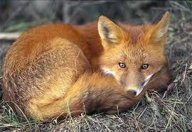 FERAL FOX