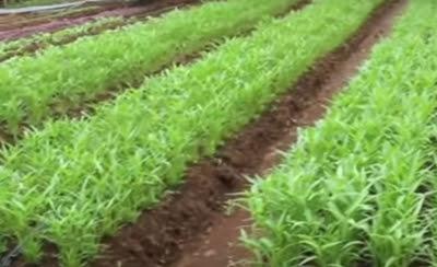 pertanian kebun kangkung