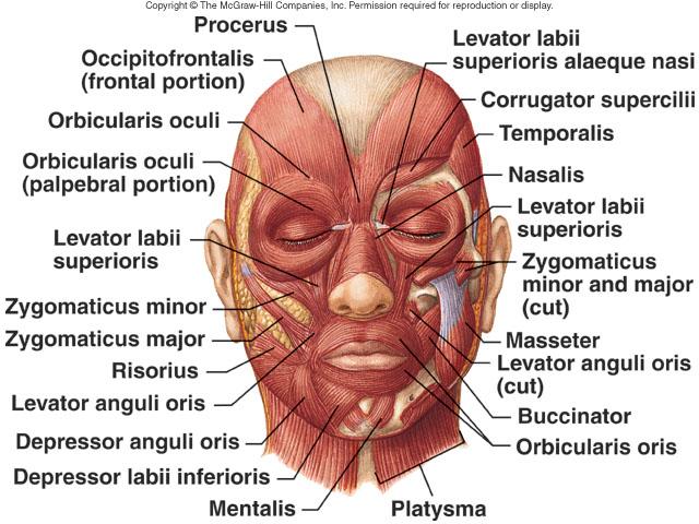 Magnífico Los Músculos Faciales Molde - Anatomía de Las Imágenesdel ...